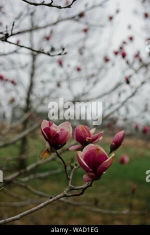 Printemps rose Magnolia fleurit sur une branche contre un ciel gris