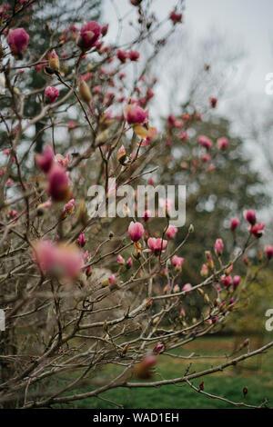 Un arbre plein de bourgeons de magnolia rose prêt à éclore au printemps