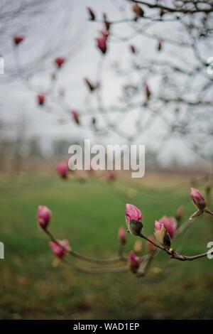 Les bourgeons de Magnolia voient le printemps magnolia