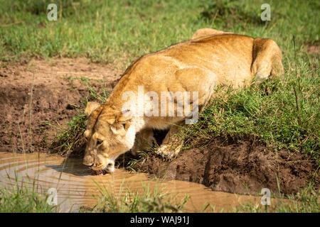 La lionne se trouve l'eau de piscine dans sunshine