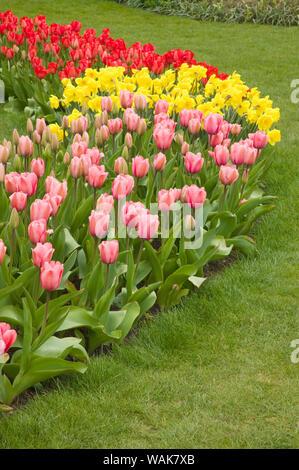 Mount Vernon, Washington State, USA. Ligne incurvée de tulipes et de jonquilles, avec l'avant-plan d'impression Rose tulipes, terrain de valeur Standard jonquilles, et à l'arrière de l'impression rouge tulipes.