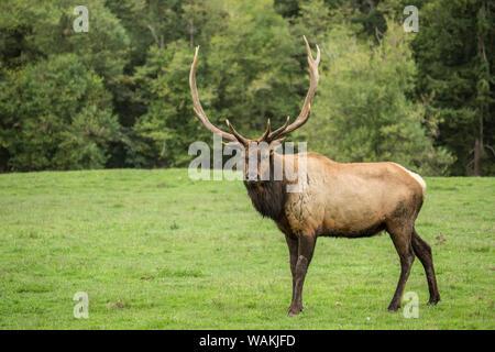 L'État de Washington, d'Eatonville, USA. American elk bull dans le nord-ouest de Trek Wildlife Park. Banque D'Images