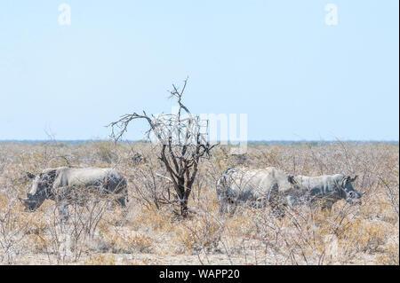 Partie d'un rhinocéros blanc Ceratotherium simum -- famille debout à côté d'un arbre sur les plaines d'Etosha National Park, Namibie. Banque D'Images