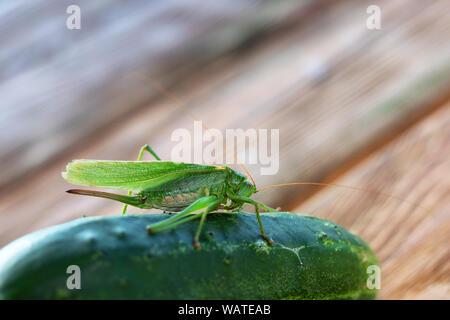 Insectes d'alimentation sur le concombre, le criquet pèlerin. locust ou grasshopper