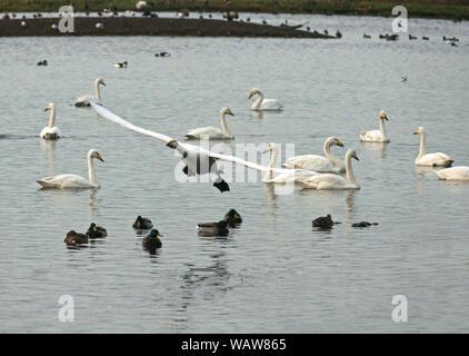 Cygne chanteur (Cygnus cygnus).Les oiseaux sauvages l'hiver à la Wildfowl & Wetlands Trust center à Martin simple Lancashire.Angleterre Banque D'Images