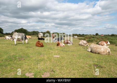 Avis de Greenham Common, une ancienne base aérienne et maintenant un site d'intérêt scientifique particulier (SSSI) avec les bovins à l'avant-plan, Berkshire, Royaume-Uni Banque D'Images