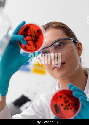 Recherches microbiologiques. Visualisation scientifique croissante des cultures dans des boîtes de pétri. Banque D'Images
