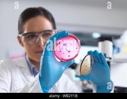 Recherches microbiologiques. L'examen scientifique des cultures bactériennes croissant dans des boîtes de Pétri. Banque D'Images