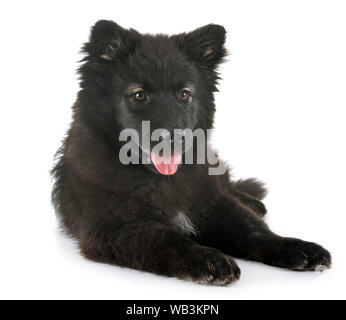Chiot Finnish Lapphund in front of white background
