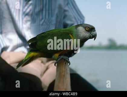 Sénégal (Poicephalus senegalus perroquet). Tame, animal de compagnie, dans son plumage d'adulte. La Gambie, Afrique de l'Ouest. Percher sur la rame, le long de la poignée, propriétaire d'un bateau sur le fleuve Gambie. Banque D'Images