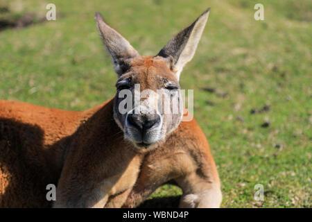 Close-up Portrait Of Kangaroo Banque D'Images