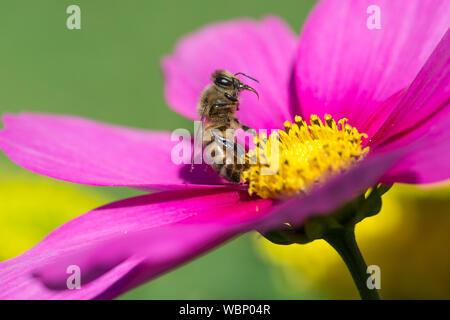 Close-up d'Abeille Pollinisant sur Fleur Rose Banque D'Images