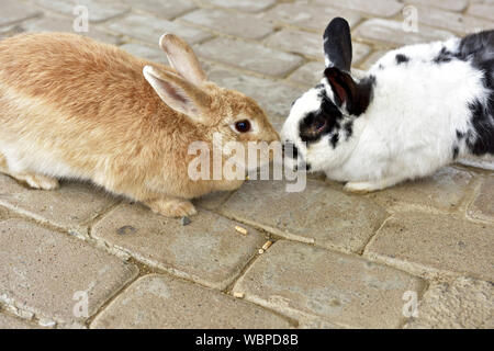 Close-up de lapins