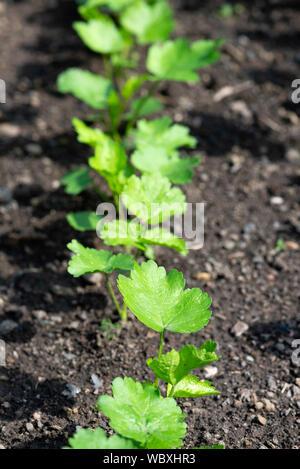Les semis de panais (Pastinaca sativa) sur un ...