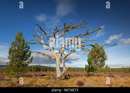 Dead tree de pin sylvestre (Pinus sylvestris) dans les landes / Heath, le Parc National de Cairngorms, Badenoch et Strathspey, Ecosse, Royaume-Uni Banque D'Images