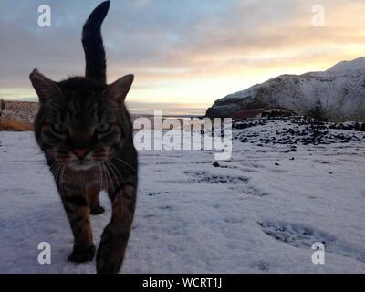 Portrait de chat marche sur pendant le coucher du soleil Banque D'Images