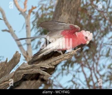 Eolophus roseicapillus cacatoès rosalbin, rose et gris, belle cacatoès sur la branche d'arbre mort avec des ailes étalées aptes à voler dans l'arrière-pays australien