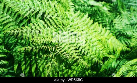 Belle impression de fond fougère naturel fabriqué à partir de feuilles de fougère d'un vert vif. Banque D'Images