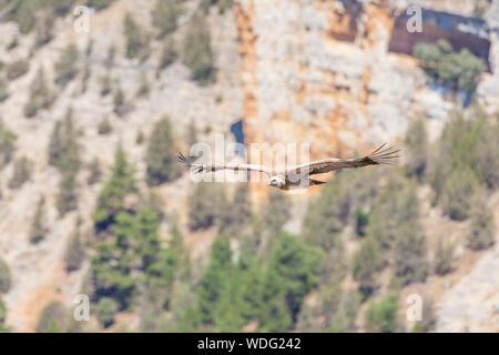 Vautour fauve - Gyps fulvus- dans le Parc Naturel Cañon de Rio Lobos - Canyon du Loup - Rivière, Soria, Espagne