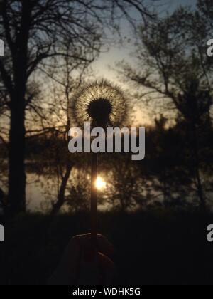 Portrait of Woman Holding Dandelion pendant le coucher du soleil Banque D'Images
