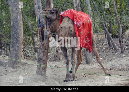 Camel se reposant près de l'entrée au Taj Mahal Banque D'Images