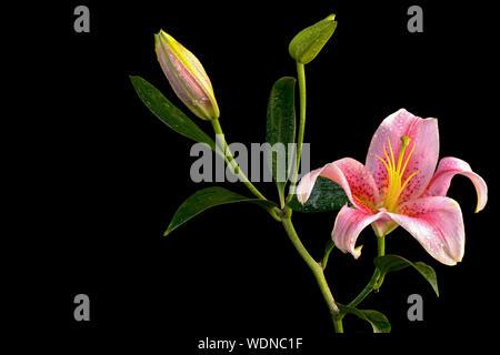Close-up of Pink Lily fleurs sur fond noir Banque D'Images
