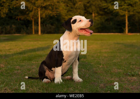American Staffordshire Terrier Puppy Sitting on Field At Park
