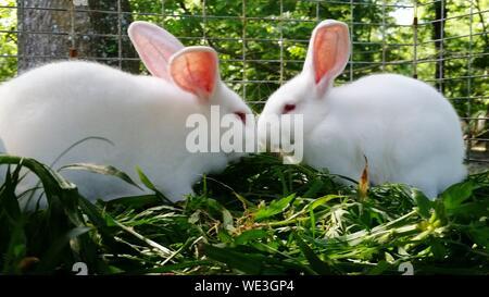 Close-up of White Rabbits