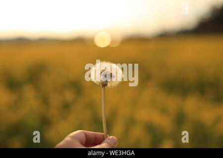 Portrait Of Hand Holding Dandelion contre un champ pendant le coucher du soleil Banque D'Images