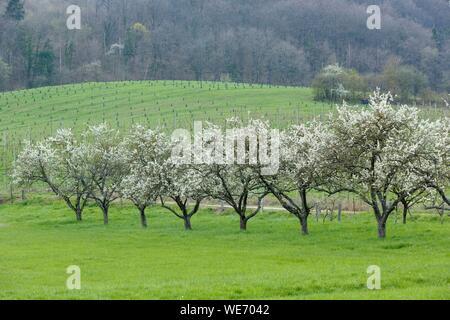 France, Meurthe et Moselle, Côtes de Toul, Boucq, pruniers en fleurs de cerisier Banque D'Images