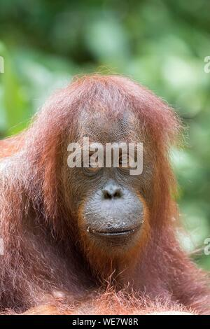 L'Indonésie, Bornéo, parc national de Tanjung Puting, orang-outan (Pongo pygmaeus pygmaeus), femelle adulte Banque D'Images
