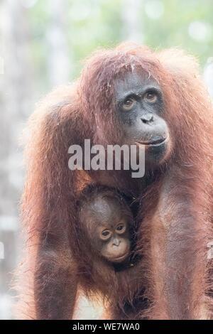 L'Indonésie, Bornéo, parc national de Tanjung Puting, orang-outan (Pongo pygmaeus pygmaeus), adulte femelle seule Banque D'Images