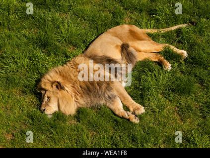 Un homme adulte lion lying in grass Banque D'Images