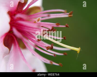 Close-up of Pink lis du jour Banque D'Images