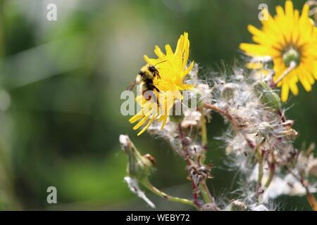 Close-up de pollinisation de l'Abeille sur Pissenlit jaune au cours de journée ensoleillée Banque D'Images