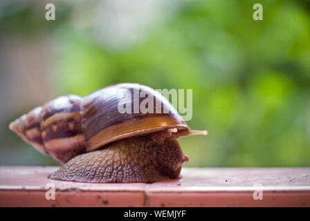 Close-up de l'escargot Banque D'Images