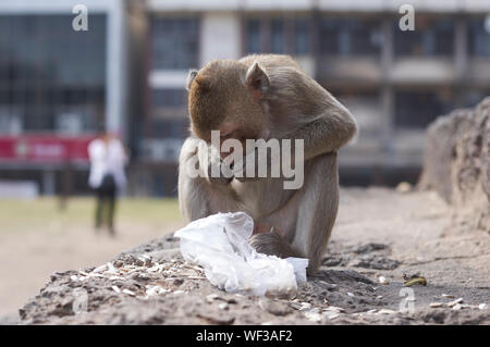 Close-up of Monkey Eating While Sitting on Rock Banque D'Images