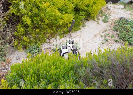 Portrait de pingouins de Humboldt au milieu de plantes