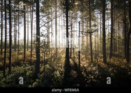 Forêt de pins Banque D'Images