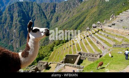 Voir d'alpagas à Machu Picchu Banque D'Images