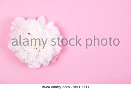 Offres magnifique pivoine blanche fleur sur fond rose pastel. Printemps Floral concept. Carte de vœux. Banque D'Images