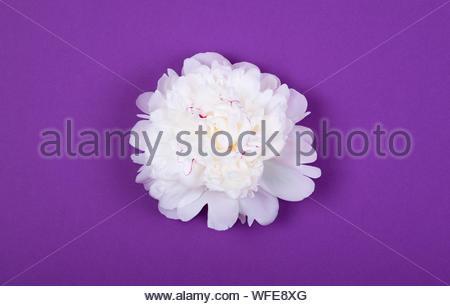 Offres magnifique pivoine blanche fleur sur fond violet pourpre. Printemps Floral concept. Copier l'espace. Banque D'Images