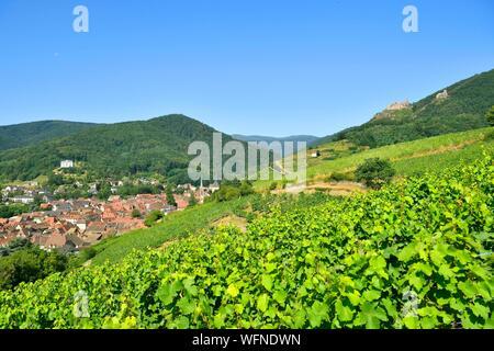 La France, Haut Rhin, Alsace, et c'est à Ribeauvillé, vignoble de Château Saint Ulrich et le Girsberg Château
