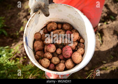 Image recadrée de tenir la main dans le seau de pommes de terre boueuse Banque D'Images