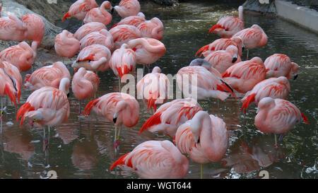 Avis de flamants roses dans l'étang Banque D'Images