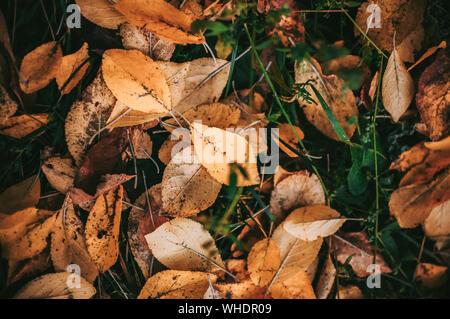 Automne feuilles fruits jaune tombé sur le sol dans l'herbe libre d'informations sur le contexte - automne doré saison colorés évolution du concept nature
