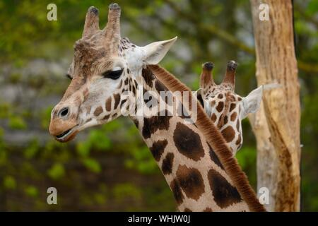Close-up Portrait Of girafe Banque D'Images