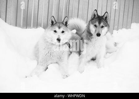 High Angle Portrait de huskies de Sibérie dans la neige contre la paroi métallique Banque D'Images