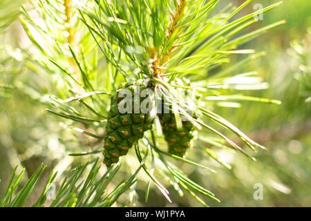 Les jeunes cônes de pin sur une branche d'arbre vert. Evergreen conifère pin avec fruits, pousses de pin, bump vert horizontal close-up
