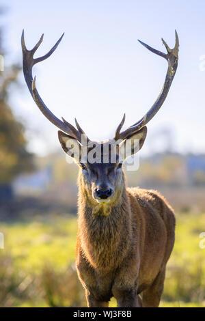 Portrait des adultes puissants majestueux red deer stag en automne Banque D'Images